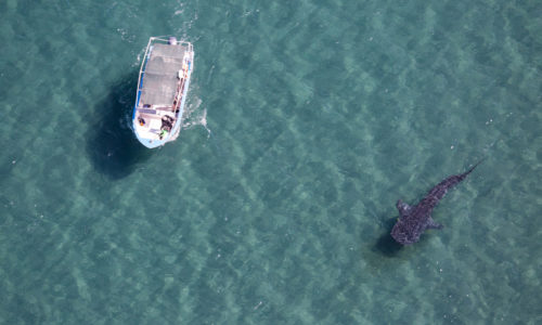 Aseguran que el establecimiento del área de refugio para el tiburón ballena (Rhincodon typus) no afectará la pesca ribereña