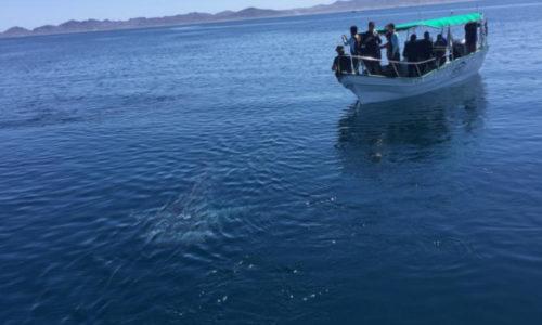 Prepara CONANP el programa de protección del tiburón ballena (Rhincodon typus)